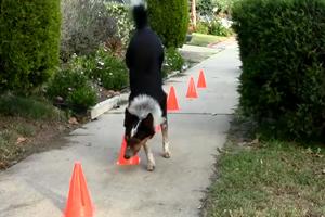 Vidéo Jumpy, le chien aux 20 figures de dressage - Vidéo